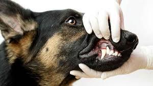 Diş Taşı temizliği, Kedi Köpek 7/24 Acil Veteriner